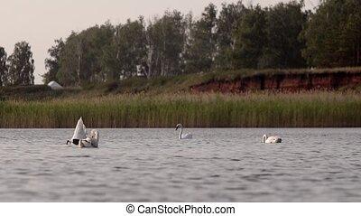swans preen their feathers and eat - swan preen their...