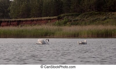 swans preen their feathers in the lake