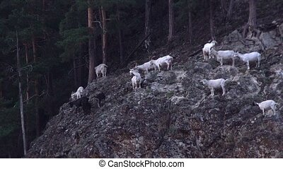 black and white mountain goats take care of themselves on...