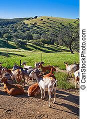 Via de la Plata way goats Sierra Norte Seville - Via de la...