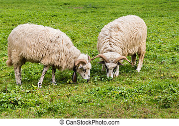 two woolly sheep grazing on meadow - closeup of two woolly...