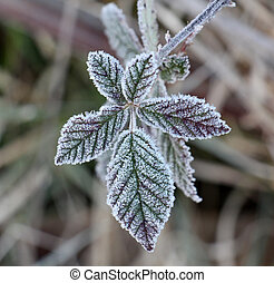 november morning frost on a blackberry bush leaf - picture...