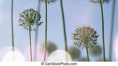 White Allium circular globe shaped flowers blow in the wind...