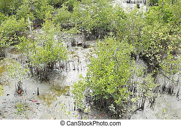 Green mangrove tree in the mangrove forest. - Green mangrove...