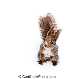 young fox squirrel sitting on snow background and looking to...