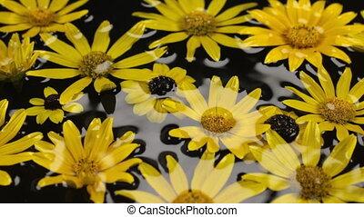 Panorama swimming in the rain of yellow daisies. Beautiful,...