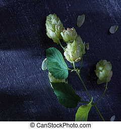 Fresh green hops on a wooden table. Blue toned - Fresh green...