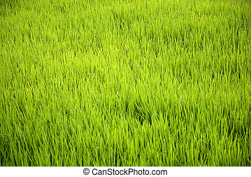 Rice Field - Rice field in Asia. Located in Indonesia
