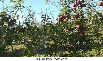 garden with red apples