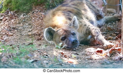 Hyena Resting On The Floor - Close-up Of a Spotted Hyena...