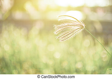 De-focus grass flower on the meadow at sunlight nature...