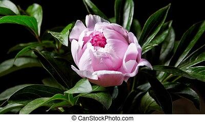 Peony Flowering - Timelapse of pink peony flowering. 4K