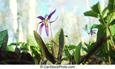 Erythronium Sibiricum - Beautiful violet flowers...