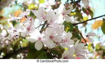 Apple Tree Flowers - Apple tree flowers