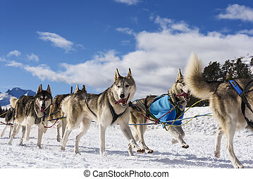 Sledge dogs in speed racing - musher dogteam driver and...