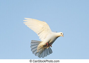 white dove flying in the blue sky