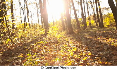 trees with yellow leaves - Trees with yellow leaves in...