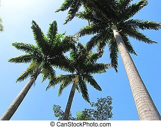 Three Palm Trees - Three palm trees in a group viewed from...