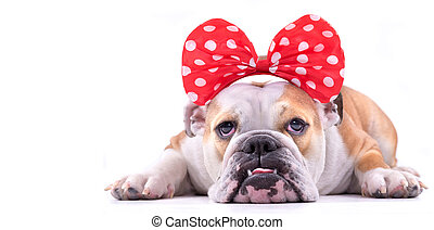 Portrait of sad dog - Portrait of sad English bulldog female...
