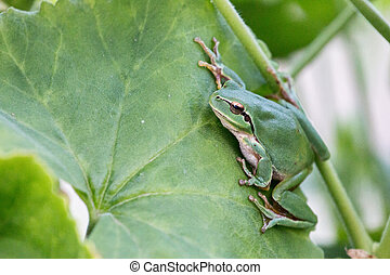 European tree frog - Close view of a european tree frog on...