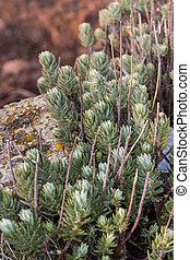 sedum stonecrop - Close up view of a sedum stonecrop species...