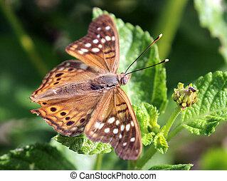 Tawny Emperor Butterfly - Tawny Emperor - Asterocampa clyton