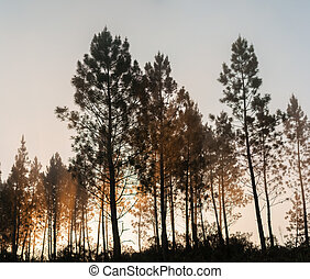 Pine trees silhouettes - Beautiful view of Pine trees...
