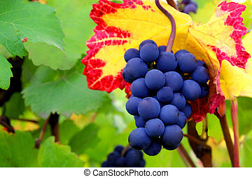 Pinot Noir Grapes Against Colorful Leaves - Grapes Pinot...