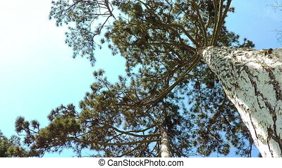 Coniferous Forest. - Bottom View. Summer Coniferous Forest...