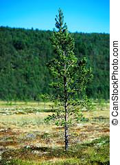 Fir tree single object bokeh background hd