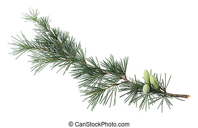 Pine branch with buds isolated on white