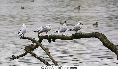 Four Gulls on a Tree Branch - Four Gulls Birds Perched on a...
