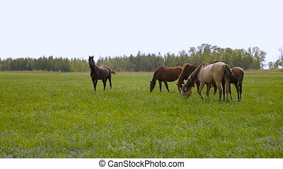 Horses on spring pasture