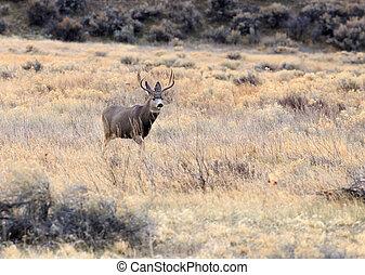 Buck and Doe Deer. - Mule deer buck with some does (female...
