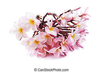 Pink plumeria flower on white background