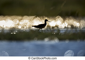 Shorebird SIlhouette - A Greater Yellowlegs is silhouetted...