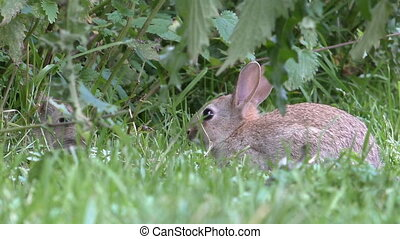 Two wild rabbits hiding in the grass - Two wild alert...