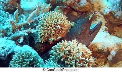 Murena on Coral Reef