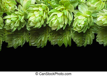 Growing on a branch of hop cones - Growing on the branch...