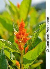 Red Plumed Celosia Flower in garden