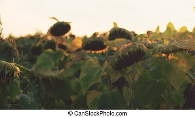 Ripe sunflowers on sky with sunset background. 4K.