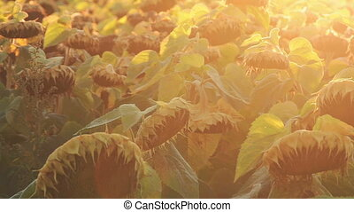 Field of ripe sunflowers. Wind moving green leaves