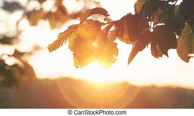 Autumn leaves of hornbeam moving on sunset background. 4K