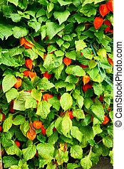 Physalis peruviana plant