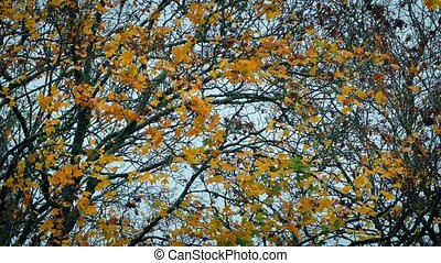 Yellow Leaves On Tree In The Fall - Tree branches with...