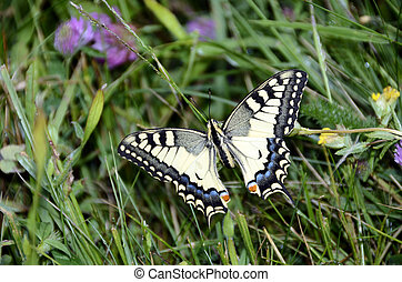 swallowtail butterfly - Swallowtail butterfly : close up of...