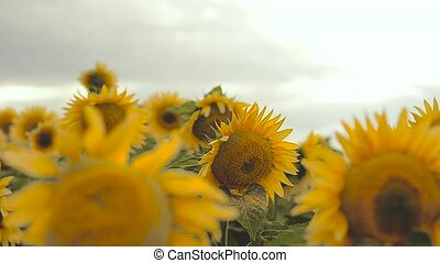 yellow sunflowers in the field swaying in the wind