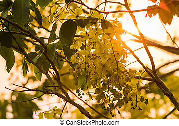 Cassia fistula (Yellow flower) on sunset