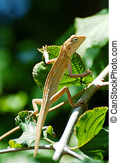 chameleon climb trees - Chameleon lean out of bush looking...