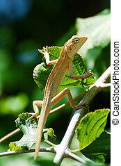 chameleon climb trees - Chameleon lean out of bush......